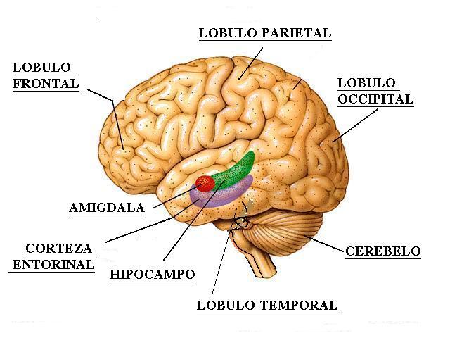 Muchos genes, cerebros grandes.